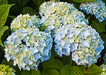 Close-up View of Blue Hydrangeas at Essex Yacht Club, Essex, CT