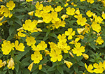 Sundrops (Oenothera fruticosa), Athol, MA