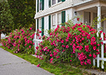 Roses along White Picket Fence at Frederick Scholes House (1905), Essex, CT