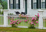 "Pink Roses on White Fence in Front of Federal-style Home ""The Bastille"" on Royalston Common, Royalston, MA"