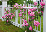 Pink Roses along White Fence on Royalston Common, Royalston, MA