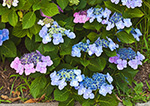 Close-up of Hydrangeas in Bloom, Westport Point, Westport, MA