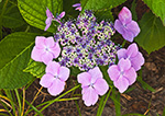 Close-up of Hydrangeas in Bloom, Westport Point, Westport, MA