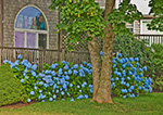 "Cedar-shingled ""The Corner Store"" with Blue Hydrangeas on Cuttyhunk Island, Elizabeth Islands, Town of Gosnold, MA"