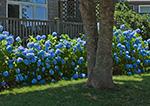Sun Shining on Blue Hydrangeas in Front of
