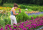 Woman Picking Flowers at Wallkill View Farm Market, Hudson River Valley, Ulster County, New Paltz, NY