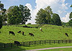 Cattle in Green Pasture, Wallbridge Farm, The Giles Family, Hudson River Valley, Duchess County, Millbrook, NY