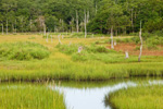 Salt Marsh, Tidal Creek, and Forest in Summer, Bay View Marshes, Padanaram, Apponagansett Bay, South Dartmouth, MA