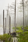 Old Snags, Wetlands, and Fog in Birch HIll Wildlife Management Area, Winchendon, MA