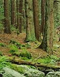 Hemlock Forest, Rutland Brook Wildlife Sanctuary, Petersham, MA Original: 4x5 inch color transparency