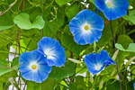 Morning Glories on Lamppost, Green Briar Nature Center, Thornton W Burgess Society, Old Kings Highway, Cape Cod, Sandwich, MA