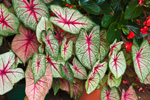 Caladium Leaves, Green Briar Nature Center, Thornton W Burgess Society, Old Kings Highway, Cape Cod, Sandwich, MA