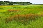 Salt Marsh with Sedges on Scorton Creek, Sandwich Conservation Area, Cape Cod, Sandwich, MA
