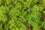Sphagnum Moss on Forest Floor along Nature Trail in  Lily Bay State Park, Moosehead Lake Region, Beaver Cove Townshiip, ME