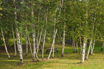 White Birch Trees in Park at Boat Access to Piscataquis River, Guilford, ME