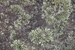 Crustose Lichens on Field Stone, Royalston, MA
