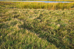 Close-up of Salt Marsh Grasses in Bloom along Kickamuit River, Warren, RI
