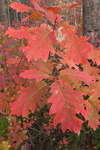 Close-up of Oak Sapling Leaves in Fall Turning Red, Lake Dennison Recreational Area, Birch Hill Wildlife Management Area, Winchendon, MA