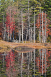 Wetlands and Woodlands in Fall With Reflections in Pond, Birch Hill Wildlife Management Area, Winchendon, MA