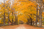 Sugar Maples along Country Road in Fall, Royalston, MA