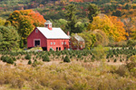 Christmas Tree Farm and Red Barns in Fall, Springfield, VT