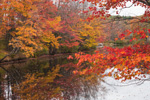 Maple Trees along Millers River with Fall Foliage, Royalston, MA