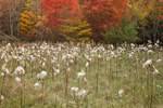 Field of Milkweed Gone to Seed with Forest Edge in Fall, Royalston, Ma