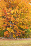 Sugar Maple Tree with Unusual Fall Foliage in Front of Stone Wall, New Salem, MA