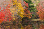 Maples in Fall Foliage along  Ashuelot River at Village Pond, Marlow, NH