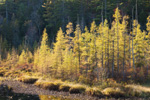 Late Light Shining upon Tamarack Trees in Fall along Dodge Brook and Beaver Pond, Dodge Brook State Forest, Lempster, NH
