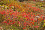 Field of Staghorn Sumac and Goldenrods in Fall Colors, Village of Ascutney, Wethersfield, VT