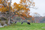 Dairy Cows in Pasture under Big Old Oak Tree in Fall, Voluntown, CT
