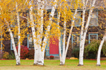 White Birch Trees in Fall with Colonial Home in Background, Ashfield, MA