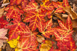 Close-up of Red Maple Leaves in Fall on Forest Floor, Pachaug State Forest (Green Falls Area), Voluntown, CT