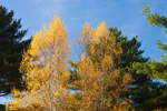 Gray Birch and White Pine Trees in Fall, Coventry, RI