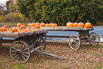 Pumpkins in Old Wooden Wagons at the North Hatfield Pumpkin Company, Village of North Hatfield, Hatfield, MA