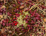 Teaberries, Lichens, Moss and Grasses on Forest Floor, Quabbin Reservation, New Salem, MA
