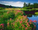 Morning Light on Joe-Pye Weed in Wet Meadow along Lawrence Brook, Royalston, MA