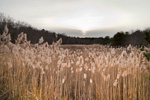 Reed Grass in Salt Marsh on Scorton Creek, Sandwich Conservation Area, Cape Cod, Sandwich, MA
