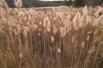 Reed Grass in Salt Marsh on Scorton Creek, Sandwich Conservation Area, Cape Cod, Sandwich, MA