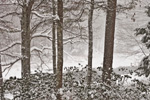 Woodlands along Millers River during Snowstorm, Athol, MA