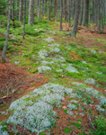 Lichens and Mosses in Spruce Forest, Acadia National Park, Mt Desert Island, ME