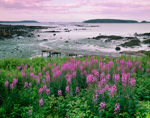 Fireweed and Old Pier at Cranberry Cove, Beals Island, ME