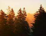 Coastal Fog Forest in Morning Light and Fog, Deer Isle, Stonington, ME