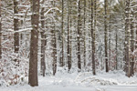 White Pine Forest after Snowstorm, Arcadia Management Area, Exeter, RI