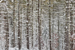 Close-up View of White Pine Forest after Snowstorm, Arcadia Management Area, Exeter, RI