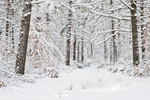 Trail through Forest after Heavy Snowfall, Arcadia Management Area, Exeter, RI
