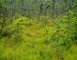Tamarack Bog (American Larch), Magalloway, ME