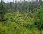 Tamarack Bog (American Larch), Rangeley Lakes Region, Magalloway, ME