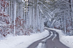 Pine Forest along Country Road through Myles Standish State Forest after Snowstorm, Carver, MA
